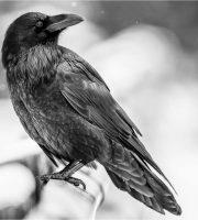 cropped-common-raven-portrait-c2a9-christopher-martin-22.jpg